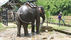 An elephant enjoys spraying himself with water and giving himself a bath by the river in Chiang Rai, Thailand.