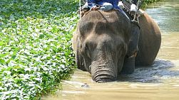 A large Asian elephant walks slowly through a creek in northern Thailand.
