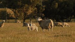 A wiltipoll ewe and lambs in a paddock with lit by the late afternoon sun.