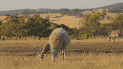 A ewe and young lamb grazing in the dry grass of a paddock in the Australian summer, showered in the evening sunlight.