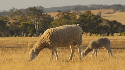 A ewe and young lamb grazing in the dry grass of a field in the Australian summer, the farm basking in the evening sunlight.