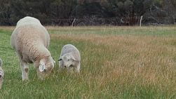 A wiltipoll ewe and lamb grazing in a paddock together.