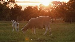 A wiltipoll ewe and lamb grazing in a field with the sun setting in the background.