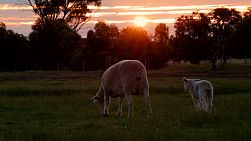 A ewe and her lamb walking across a paddock on an Australian farm at sunset.