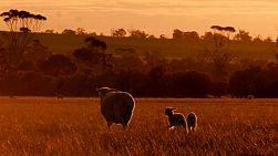 A ewe and her lambs wandering across a field on an Australian farm at sunset.