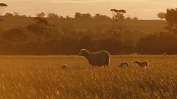 A ewe and her lambs wandering across a paddock on an Australian farm at sunset.