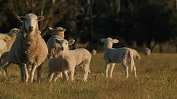 A wiltipoll ewe and lambs in a field, the ewe wanders off screen.