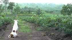 A faithful guard dog runs off to check out an intruder on a farm in Western Thailand.