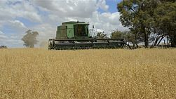 An australian farmer on a combine harvester (header) harvesting a crop of oats.
