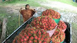 A Thai farmer sprays down containers full of ripe rambutan fruit in Chantaburi, Thailand.