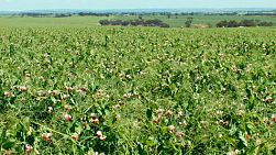 View across a crop of field peas growing on a farm in Australia.