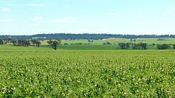 A green crop of field peas growing on a farm in Australia
