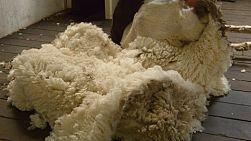 The wool fleece coming off a sheep as it is being shorn by a shearer.