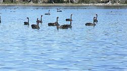 A large flock of wild black swans gathered on a lake in western australia.
