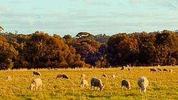 A flock of sheep and lambs grazing in a grassy meadow, lit by the late afternoon sun.