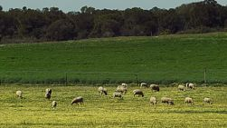 A flock of sheep grazing on a field of cape weed on an Australian farm.
