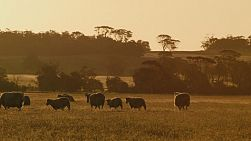 A flock of wiltipoll sheep wandering through a field in the golden light of sunset.