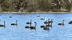 A large flock of wild black swans on a lake in western australia.