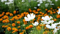 White flowers in a garden, with orange flowers in the background.