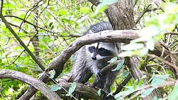 A frightened racoon hiding in a tree runs for safety in the forest.