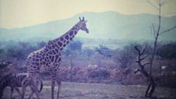 Giraffes and other wild animals roam through a game park in Caracas, Venezuela in 1979.