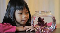 A cute little 5 year old Asian girl enjoys watching her pretty red Betta fish.