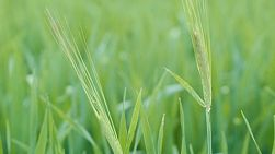 Two heads of barley in an organically grown crop, on a farm in Western Australia.