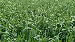 Leaves of a green wheat crop before the heads of wheat have sprouted, growing in a field on a farm in Western Australia.