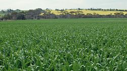 Looking across a green wheat crop in a paddock in Western Australia.