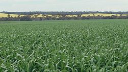 Looking across a valley with a green wheat crop before the heads of wheat have sprouted, on a farm in Western Australia.