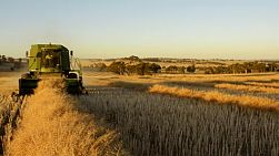 The sun setting on an Australian farmer harvesting a canola crop, that has been swathed into windrows ready for harvest.