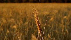 A head of wheat in a crop on an Australian farm, blowing in the breeze at sunset.