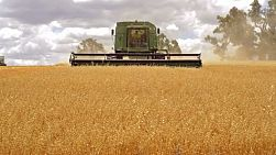 An Australian farmer on a combine harvester (header) harvesting a crop of oats, with the header coming straight towards the camera.