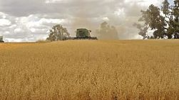 An Australian farmer on a combine harvester (header) harvesting an oats crop, with the header driving straight towards the camera.