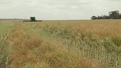 A combine harvester coming towards the camera while swathing a crop of canola on an Australian farm.