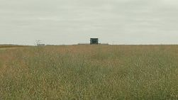 A combine harvester in the distance swathing a crop of canola on an Australian farm.
