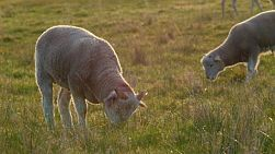 A lamb with horns and it's friend grazing in a grassy paddock on an Australian farm.