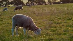 A young lamb with horns grazing with it's flock of sheep in a grassy field on an Australian farm.