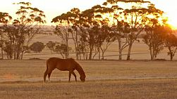 A horse grazing on an Australian farm, with the sun setting in the background.