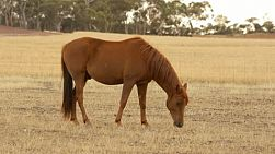 A horse grazing in dry pasture, dry in the australian summer, in the early morning light.