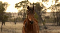 Portrait of a horse staring at the camera, it looks away then looks back at the camera. The horse is lit be the early morning sunlight on an Australian Farm.