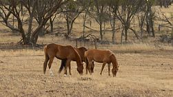 Three horses grazing in dry pasture, in the australian summer, in the early morning light.