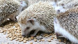 A group of adorable hedgehogs eat dinner together in a zoo in Thailand!