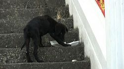 A cute little stray black puppy scavenges for some food on the steps in Bangkok, Thailand.
