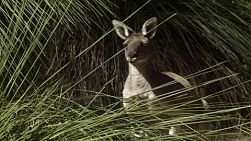 A wild kangaroo in the Australian bush.