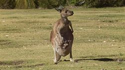 A mother kangaroo with a joey in her pouch standing on a grassy area.