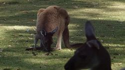 Kangaroo grazing on grass, with the head of another kangaroo in the foreground.