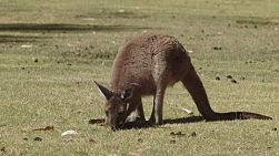 A wild kangaroo eating green grass in the afternoon sunlight.