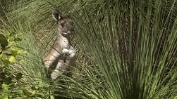 A wild kangaroo standing behind a balga tree, in the Australian bush.