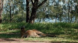 A kangaroo resting in the shade on the grass by a river.